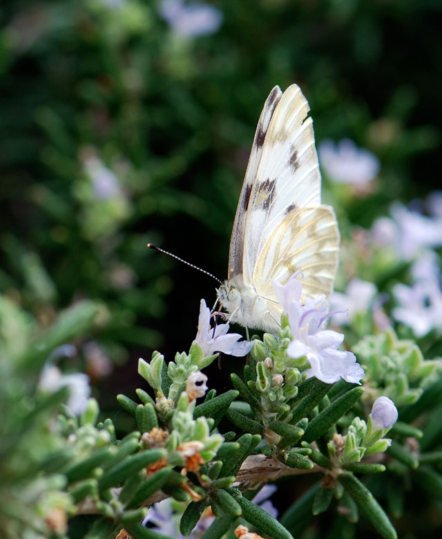 white-butterfly-side
