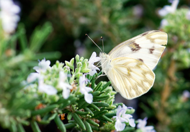 white-butterfly_0271