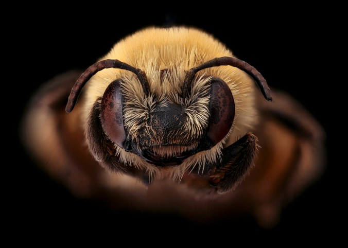 Melissodes trinodus bee
