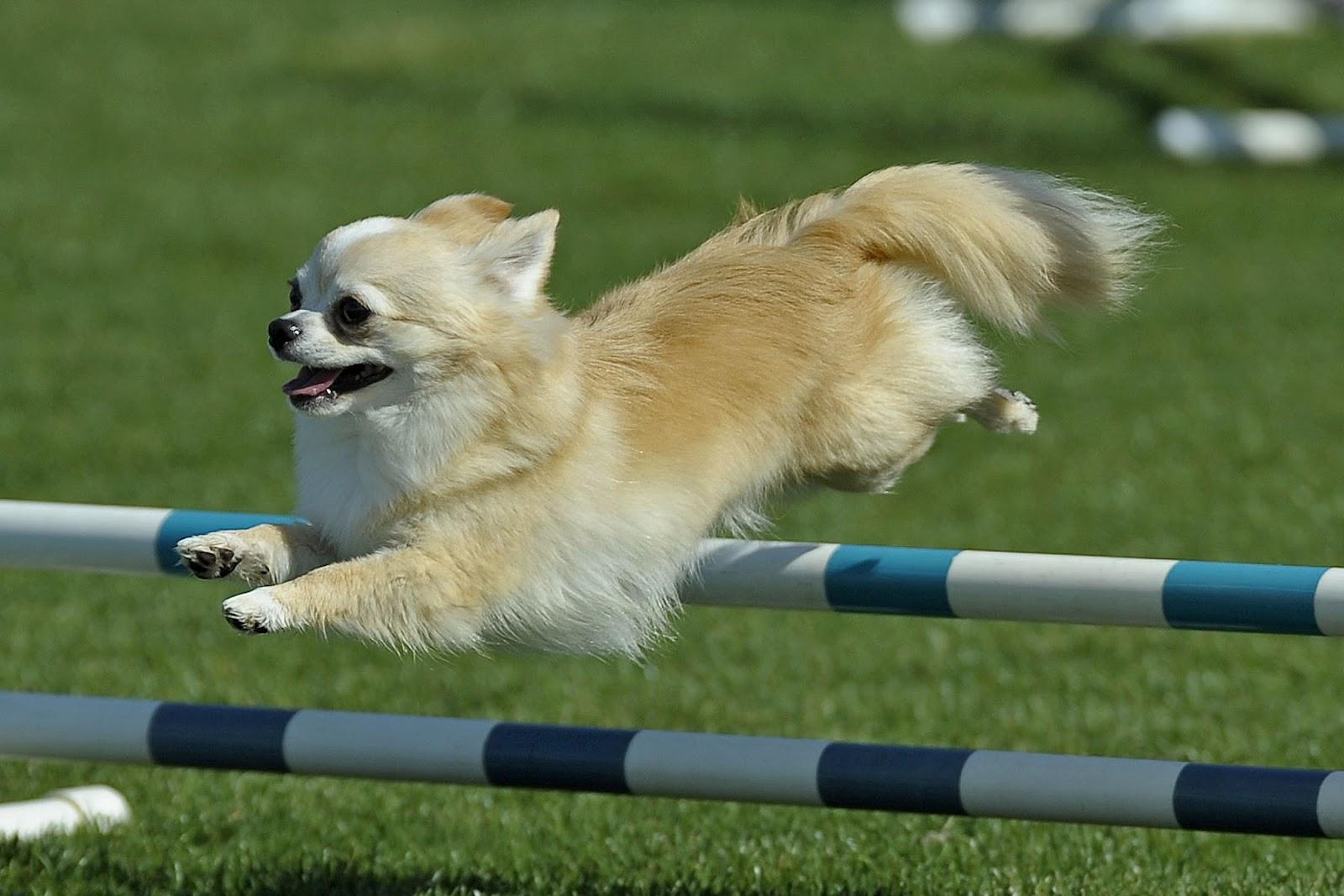 Agility-Chihuahua