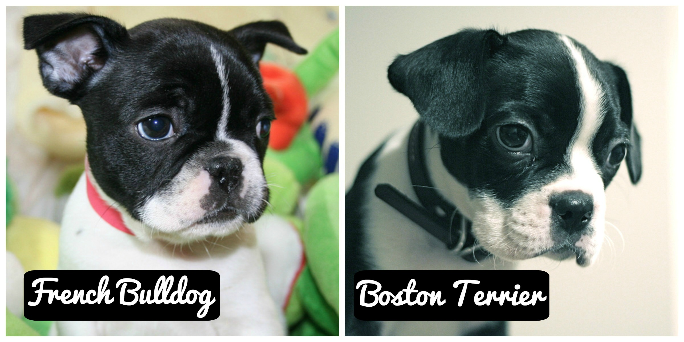 difference between french bulldog and boston terrier is it a french bulldog or a boston terrier gublog 6735