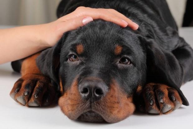 embarazo psicologico en perras