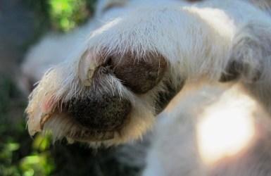 cortar uñas perro gudog