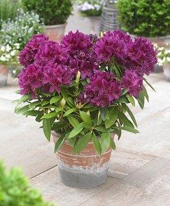 Rododendro azalea plantas tóxicas para los perros