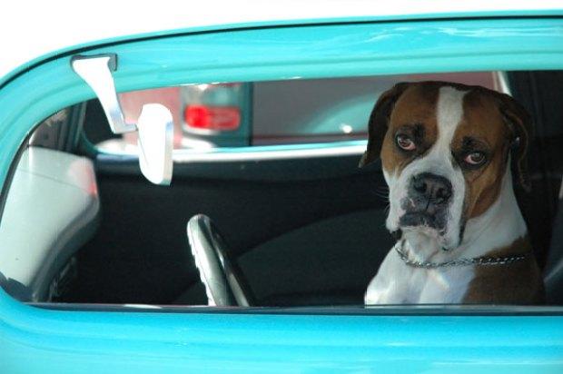 dog-blue-car