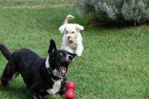 chien ne mange pas jouet kong