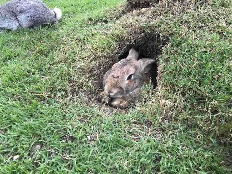 A brown rabbit is in a hole | rabbit hunting guns