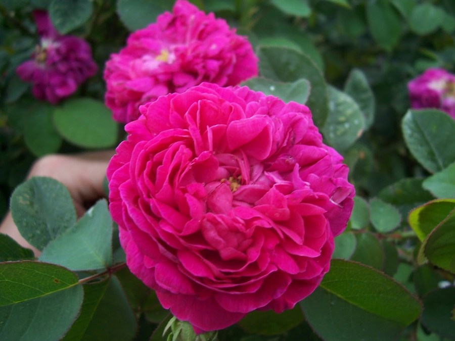 Taif roses