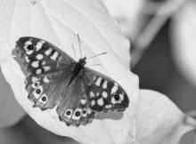 Papillon pris dans l'infrarouge