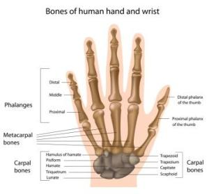 Wrist & Hand anatomy clinic hq