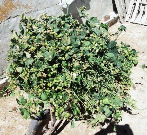 Recolección de lúpulo de cultivo casero