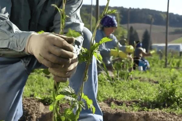 Guiando las plantas de lúpulo.