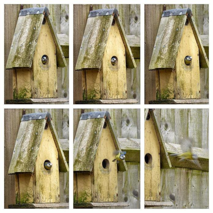 blue tit in bird boxes