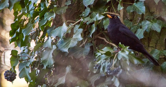 European-blackbird-with-rowan-berry-in-forest
