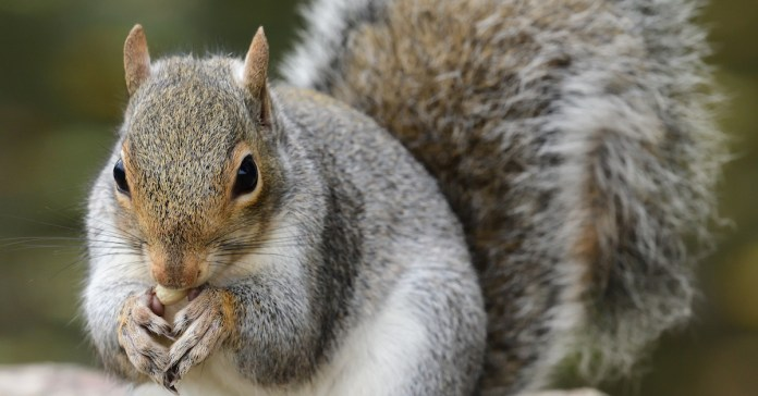 closeup of a grey squirrel - Squirrel proof feeders are available on Happy Beaks