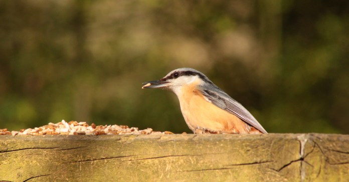 A nuthatch attracted by sunflower hearts in British woodland