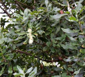 Mac nut tree blossoms