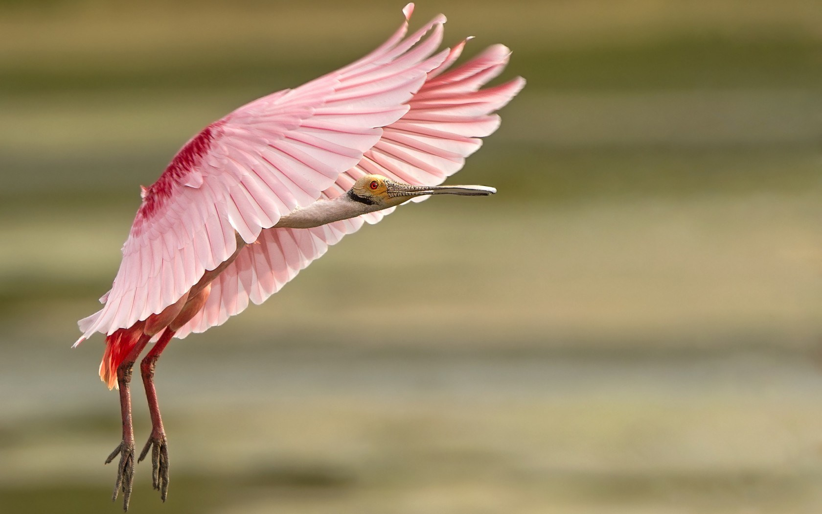 https://i2.wp.com/blog.hdwallsource.com/wp-content/uploads/2016/03/roseate-spoonbill-bird-computer-wallpaper-50733-52425-hd-wallpapers.jpg