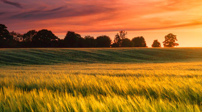 The sun sets over a green and gold, flowing crop of wheat or barley on a farm on a hill in England. The thin clouds are illuminated by the sun in red, orange, gold.