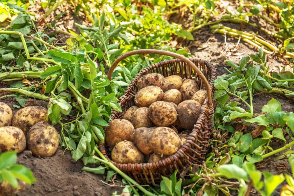 Frisch geerntete Kartoffeln