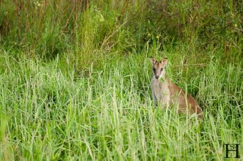 20120512-164459-Australien, Ingham, Wallaby, Weltreise, Wetlands-20120512-164459-Australien-Ingham-Wallaby-Wetlands_DSC1026
