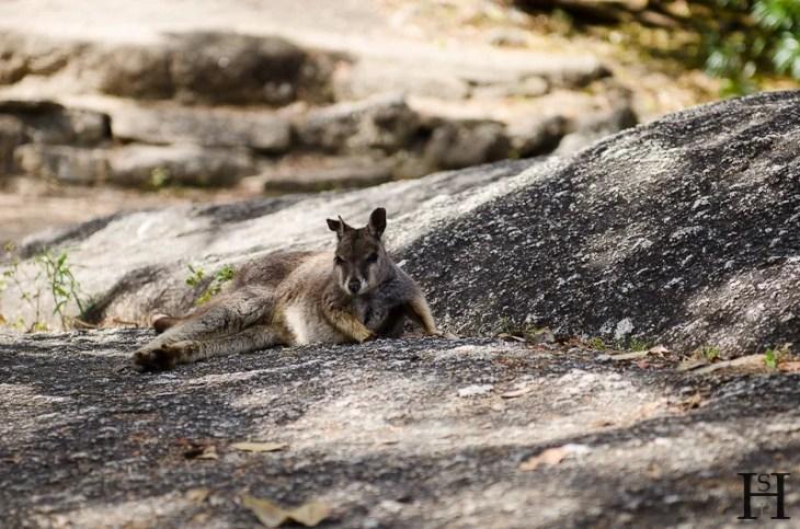 20120516-104540-Atherton Tableland, Australien, Granite Gorge, Wallabies, Weltreise-20120516-104540-Atherton-Tableland-Australien-Granite-Gorge-Wallabies_DSC2366