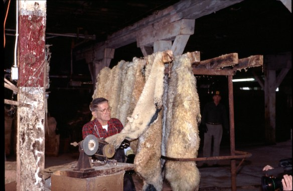 Frank Hayson inspects pelts on a rolling rack before selecting one for pulling. Photo by author.