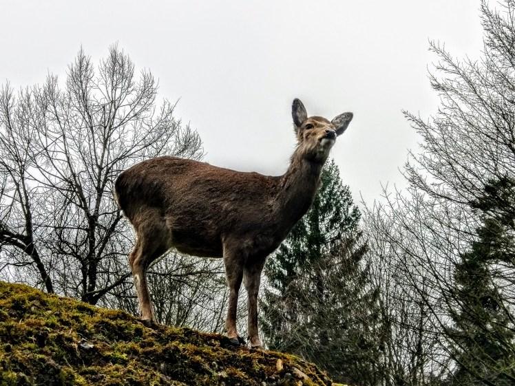 Reh im Natur- und Tierpark Goldau