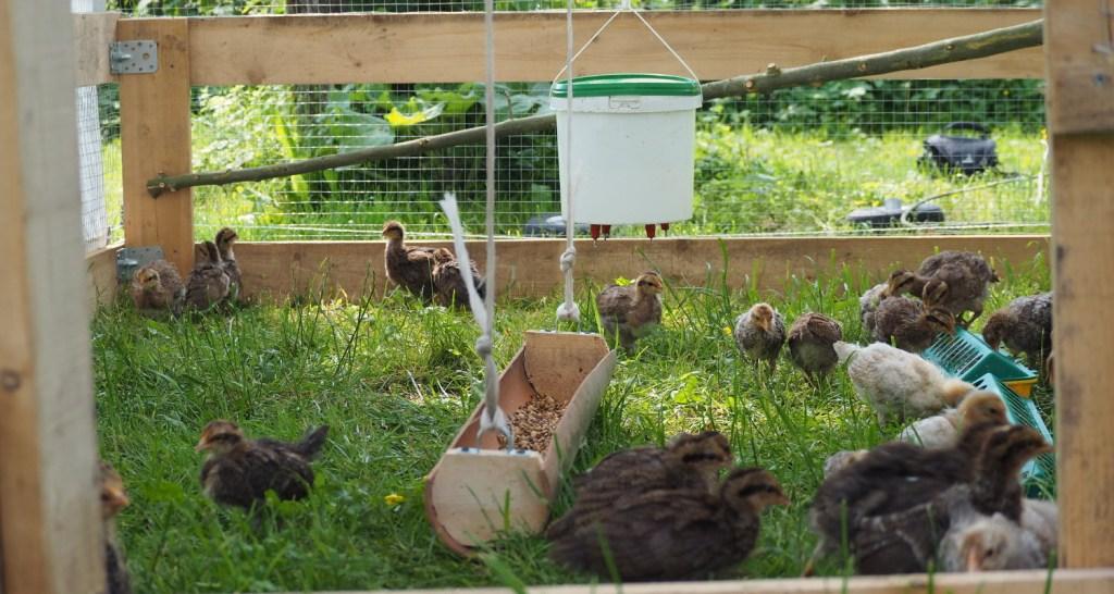 Chicken Tractor Hühnermobil Küken Rheinländer