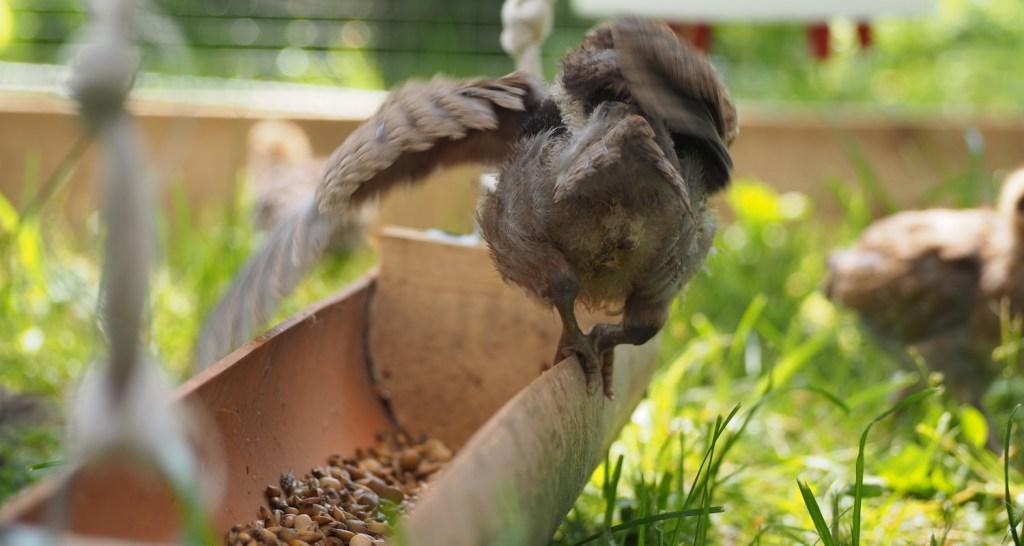 hühner futtertrog eigenbau hängend