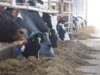 Kühe am Futtertisch