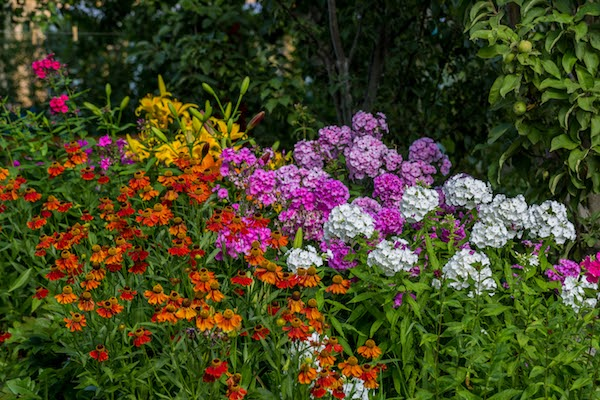 perennials in garden