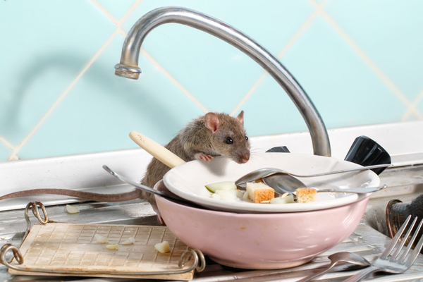 mouse in dishes at sink
