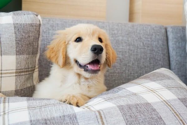puppy sitting on couch cushions