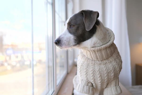 puppy wearing sweater looks out of window