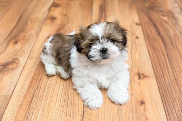 puppy on vinyl flooring