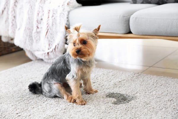 puppy sitting on carpet next to stain
