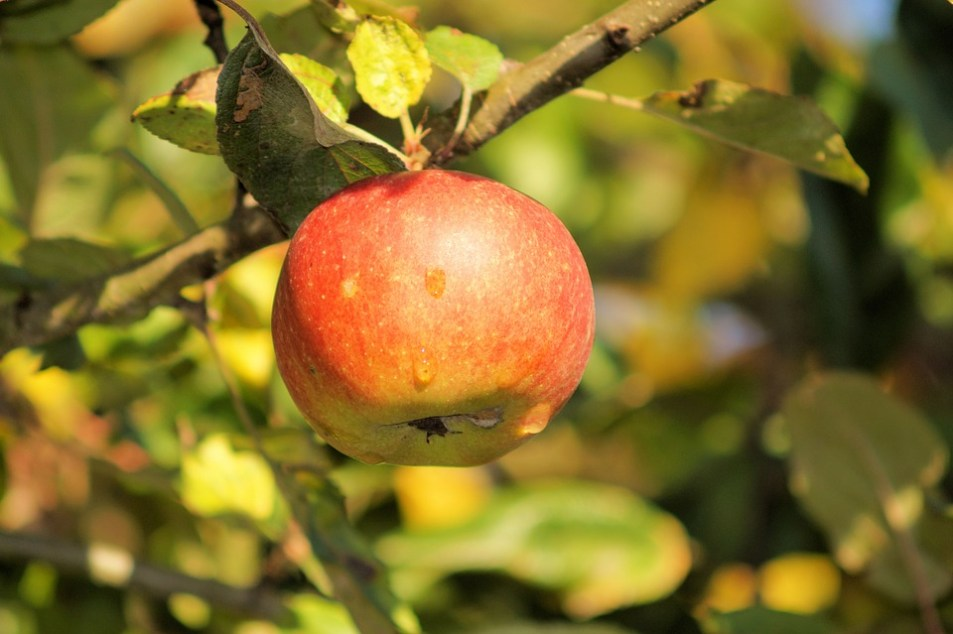 Apple growing on a tree.