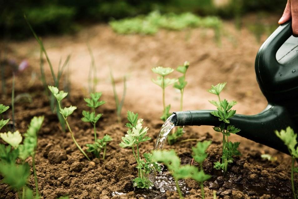 Watering the vegetable garden.