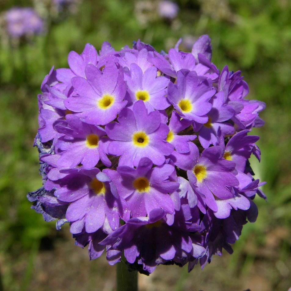 Lavender Primula