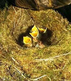 Nesting Chicks
