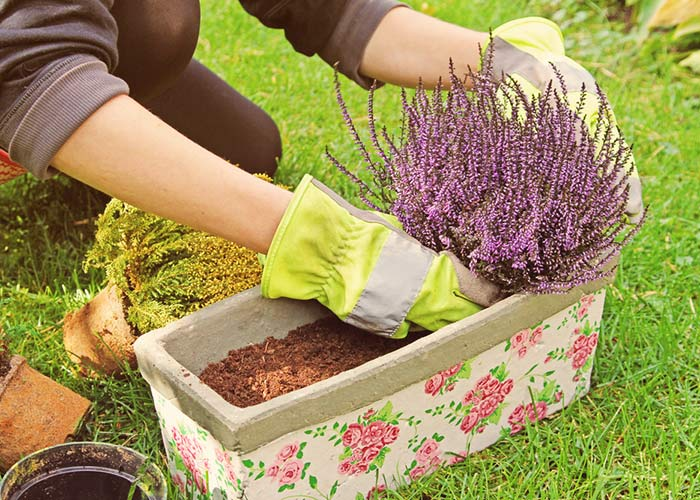 Planting Heather