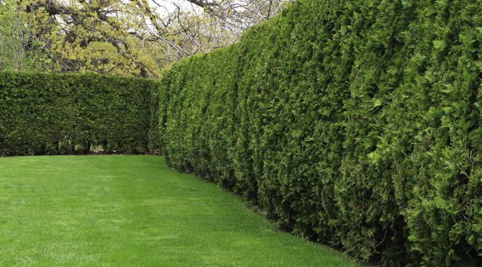 Instant hedge around a garden.