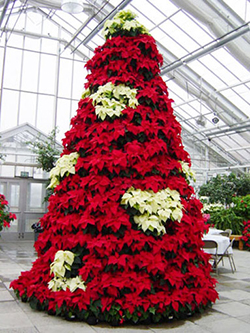 Poinsettia plants in the shape of a Christmas tree.