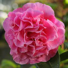 Anemone Camellia