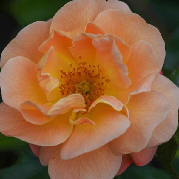 Carpet Rose - Orange