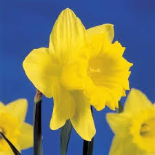 Trumpet or Long Cup Daffodils