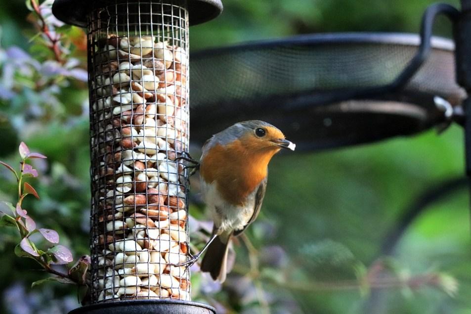 robin eating wild bird food at a bird feeder.