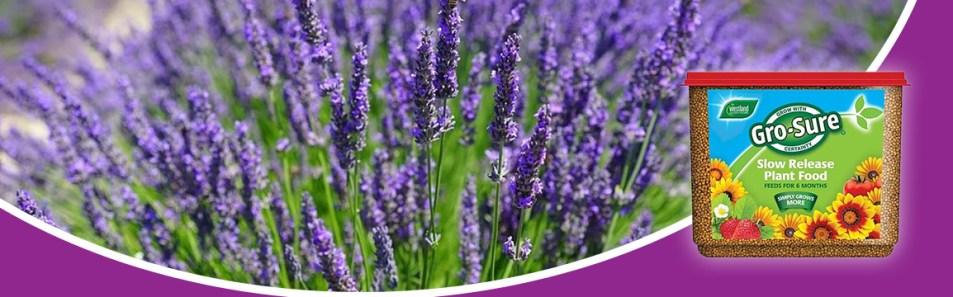 Lavender Planting Project