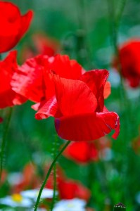 close up of red wildflower poppies in a field